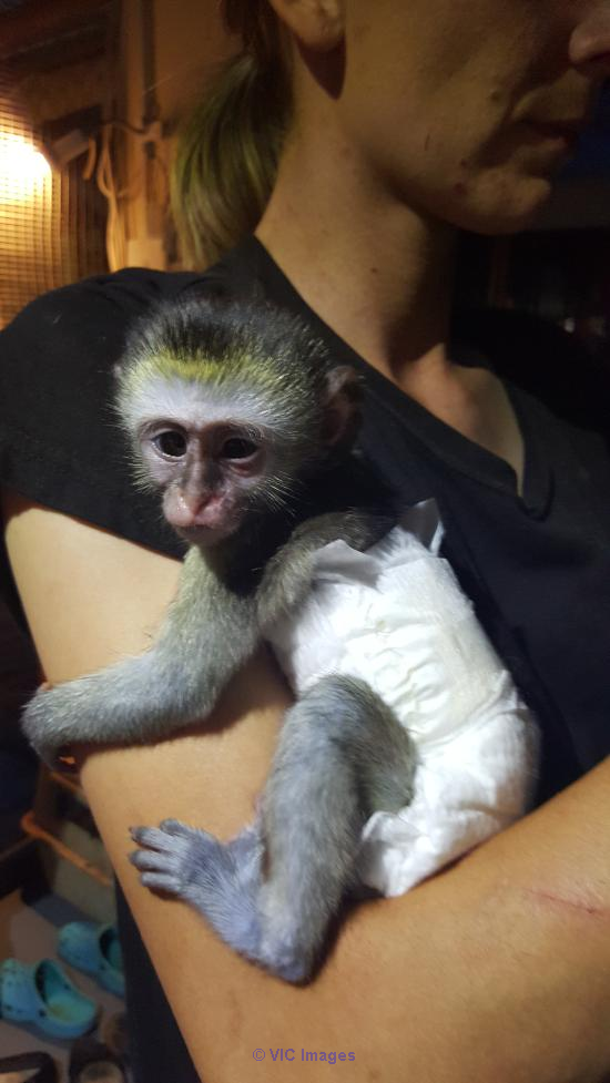 BABY MONKEY FOR AVAILABLE ADOPTION Edmonton, Alberta, Canada Classifieds