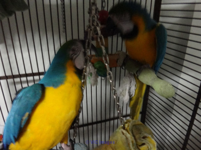 Adorable blue and gold macaw for adoption Edmonton, Alberta, Canada Classifieds